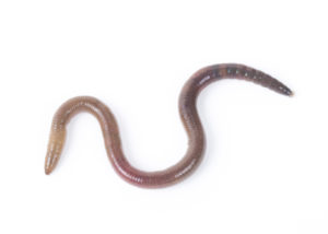 Are You Spotting Worms in Your Toilet in Vista CA? Here's What's Going On